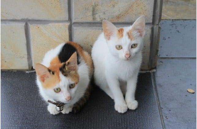 Kucing Kampung-faunadanflora