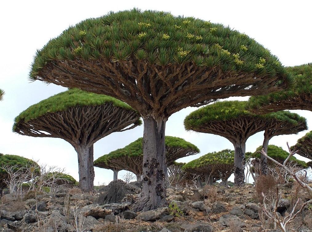 Pohon Darah Naga (Dracaena Cinnabari)