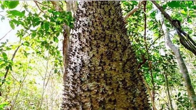 Pohon Dinamit