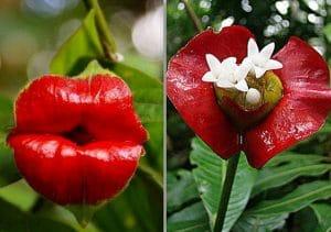Psychotria elata flower