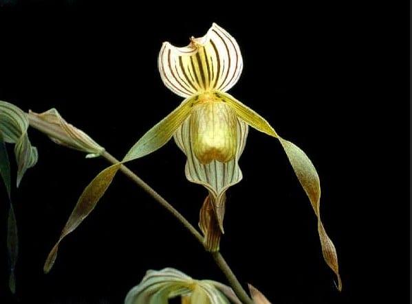 anggrek kolopaking-flora