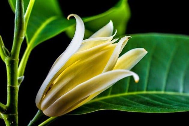 cempaka-faunadanflora