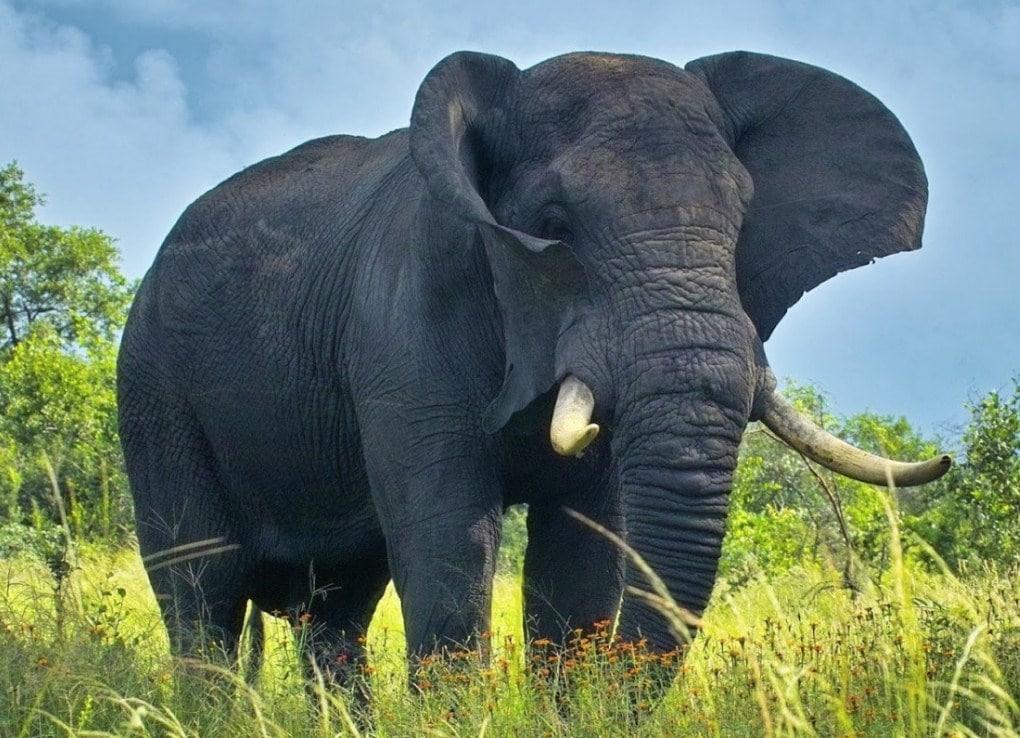 gajah lampung