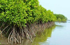 hutan mangrove indah
