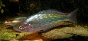 ikan bulalao