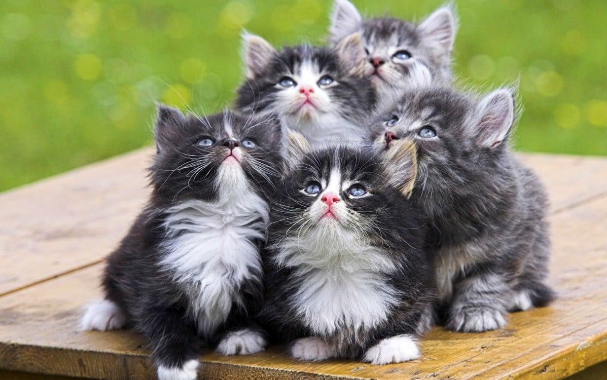 40 Jenis Jenis Kucing Paling Digemari Para Cat Lovers Di