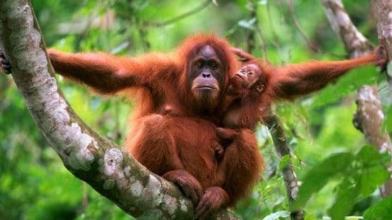 orangutansumatra-faunadanflora