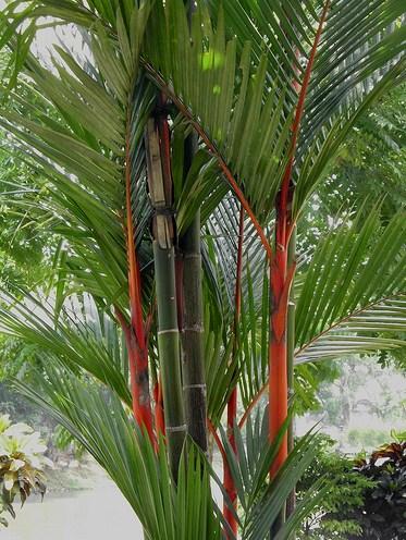 pinang merah