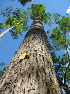 pohon ampupu