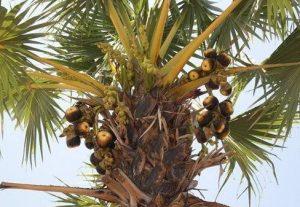 pohon lontar