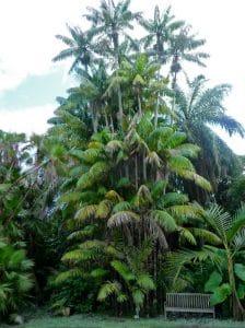 pohon nibung