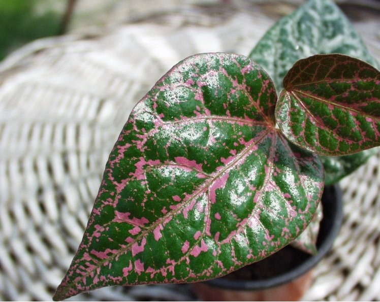 sirihmerah-faunadanflora