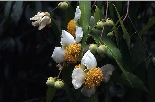 tumbuhan nagasari