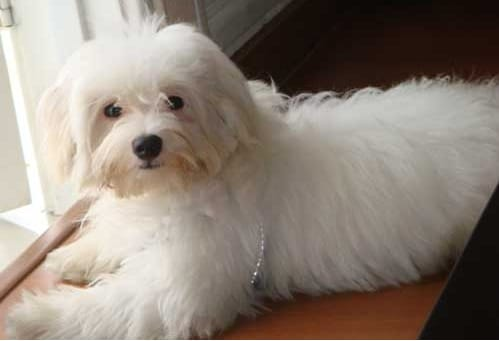 Anjing Maltase