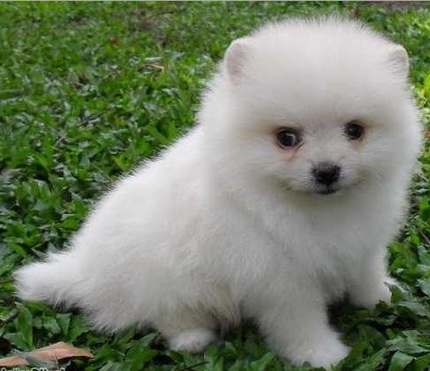 Anjing Pomeranian kecil