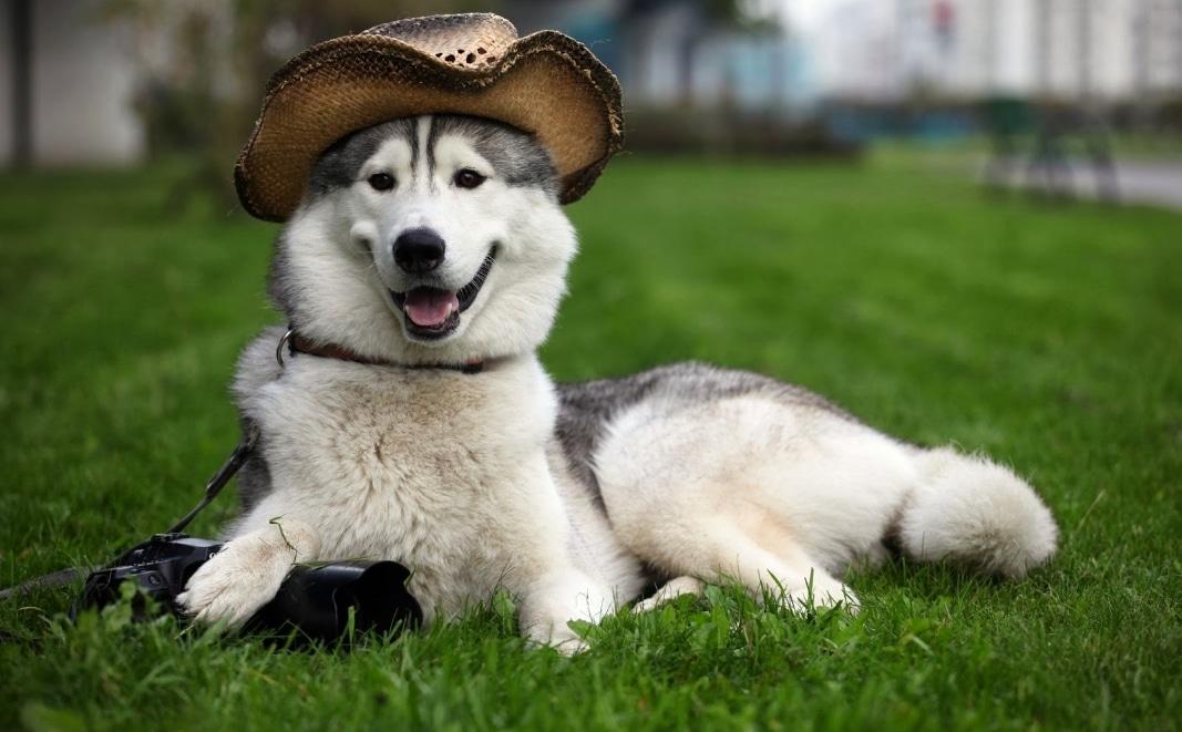 Anjing Siberian Husky
