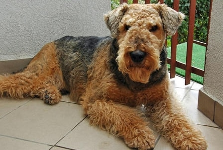 Anjing Terrier Airedale