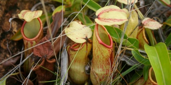 Nepenthes Abalata