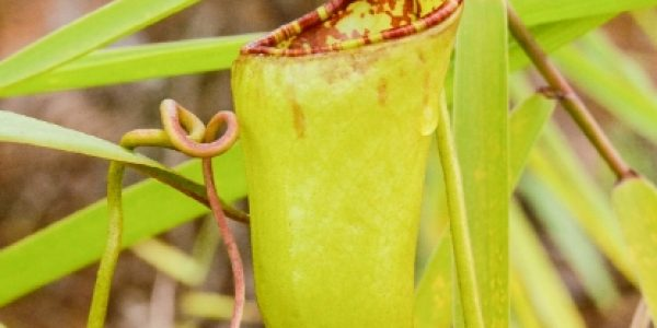 Nepenthes Ceciliae