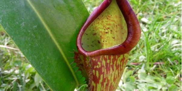 Nepenthes Copelandii