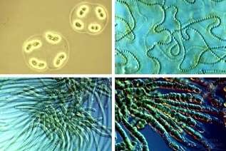 alga biru