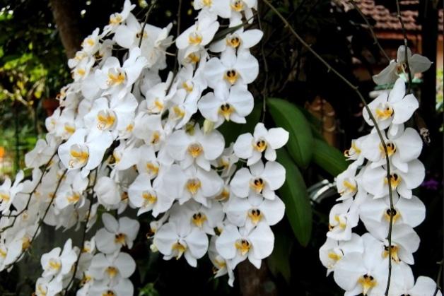 Anggrek Bulan Bunga Puspa Pesona Nasional Yang Menawan Flora Dan Fauna