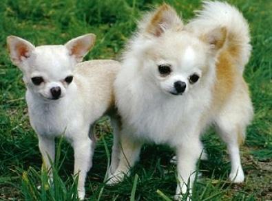 anjing chihua hua