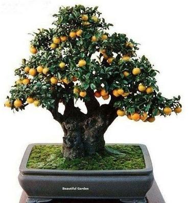 bonsai jeruk