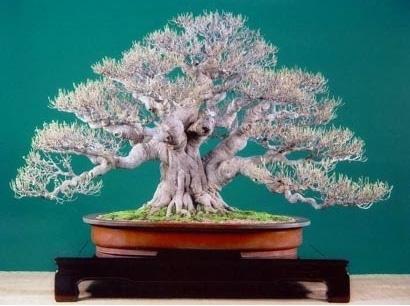 bonsai serut menggugurkan daun