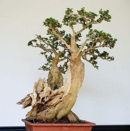 bonsai serut tua