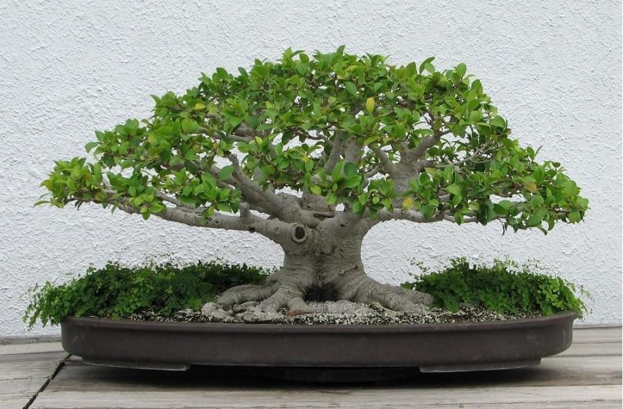 bonsai serut