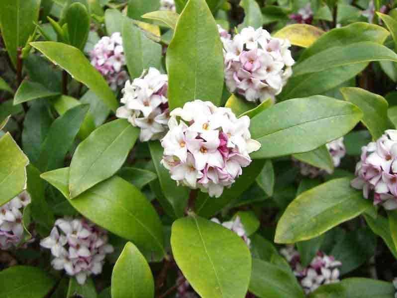 bunga daphne