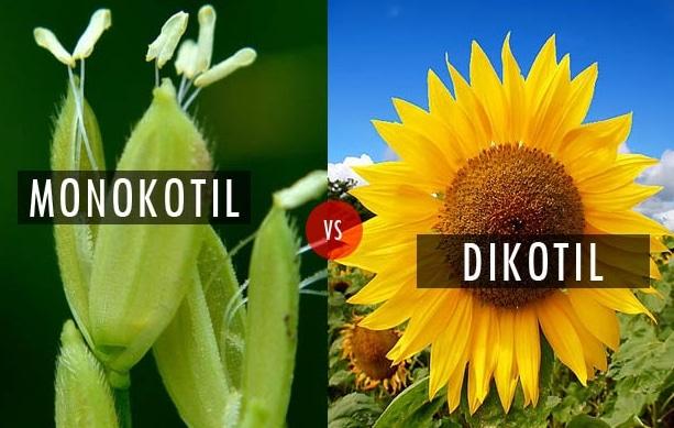 bunga dikotil monokotil
