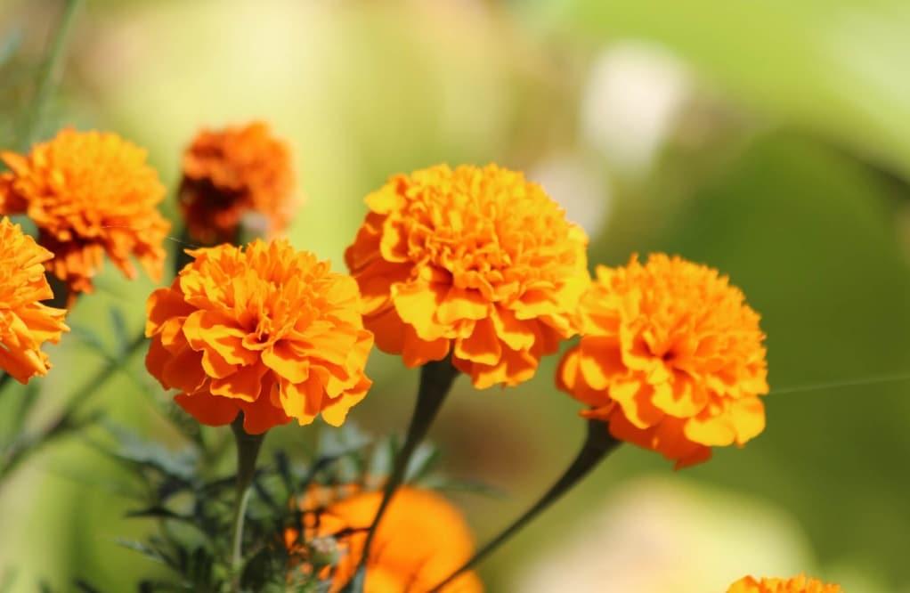 bunga marigolds