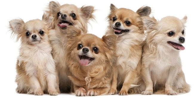 Inilah 20 Fakta Menarik Tentang Anjing Chihuahua Yang Menggemaskan Faunadanflora Com