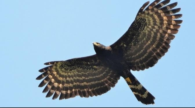 55 Gambar Hewan Burung Rajawali HD