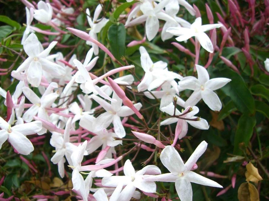 jasminum offcinale