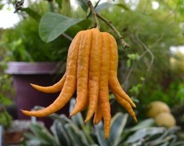 jeruk jari budha