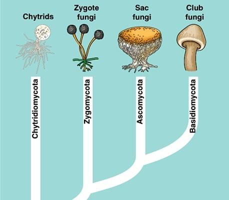 klasifikasi fungi