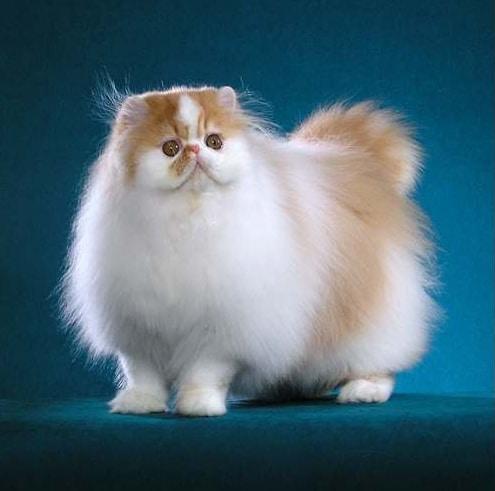 kucing persia asli