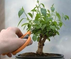 perawatan bonsai
