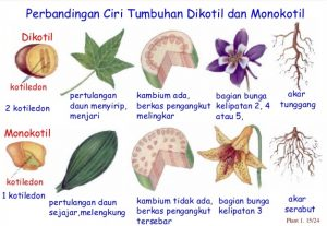 perbedaan tumbuhan dikotil monokotil