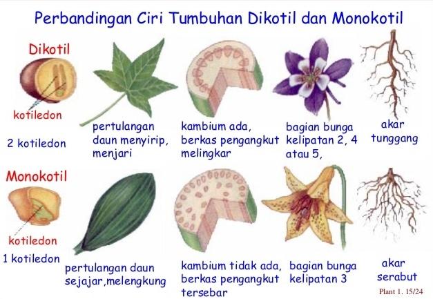 Perbedaan Dikotil dan Monokotil Pada Tumbuhan Dalam Tabel ...
