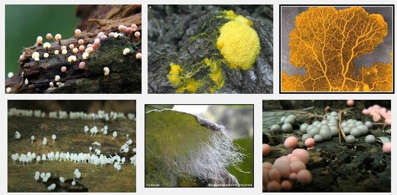 protista mirip jamur