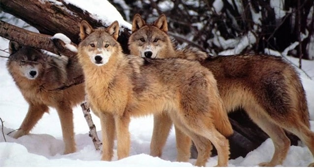serigala berkelompok