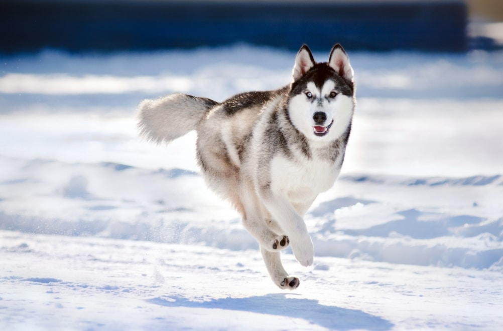 siberian husky run