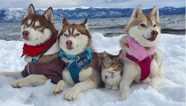 siberian husky with cat