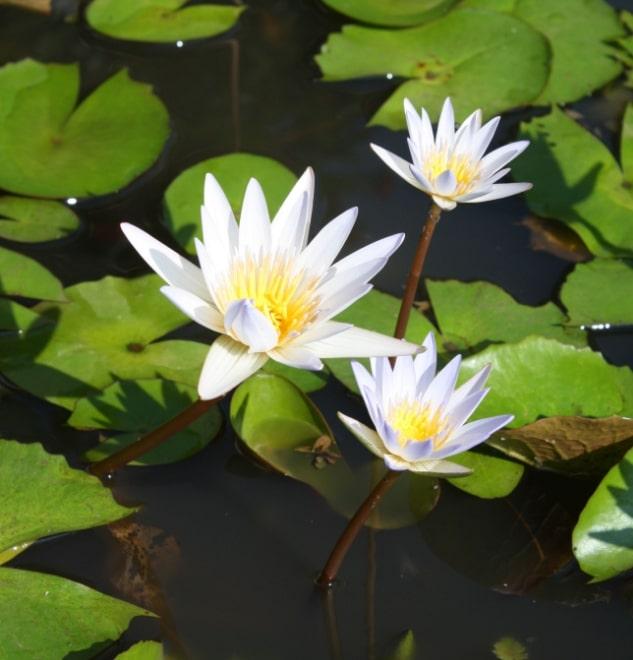 36 Macam Tanaman Hias Dan Liar Yang Hidup Di Air Faunadanflora Com