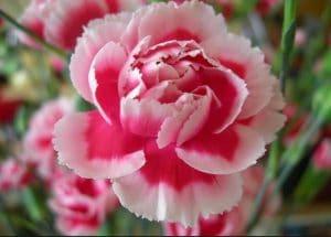 jenis bunga anyelir