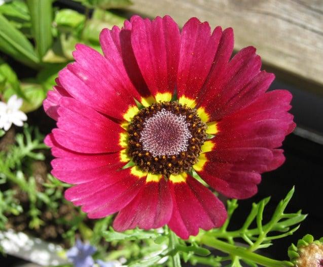 Chrysanthemum carinatum krisan